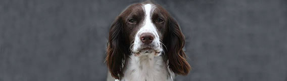 Spaniel dog - links to BBC Scotland interview with Bravehound
