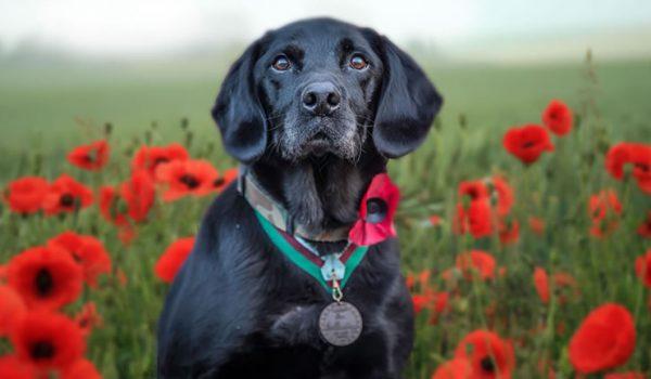 dog wearing dickins medal in poppy field