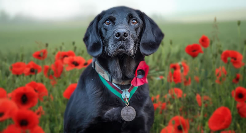 dog wearing dickins medal in poppy field