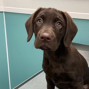 bravehound puppy